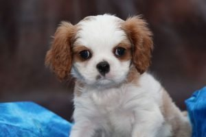 cavalier puppies for sale