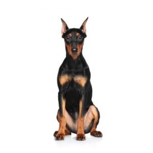 german-pinscher