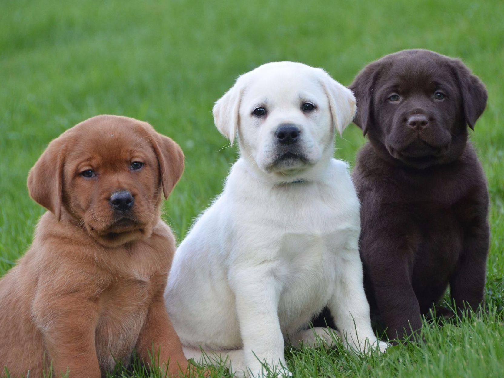 Labrador Puppy For Sale ADOPTION In New South Wales Australia