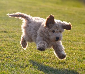 Labradoodle Puppies for Sale, This Breed Gives the Best