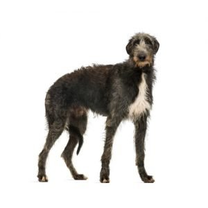 scottish-deerhound