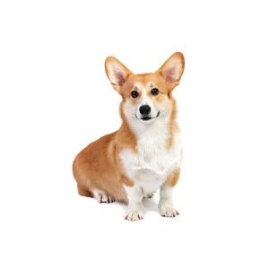 Pembroke Welsh Corgi Puppies Breed Info - Petland Summerville