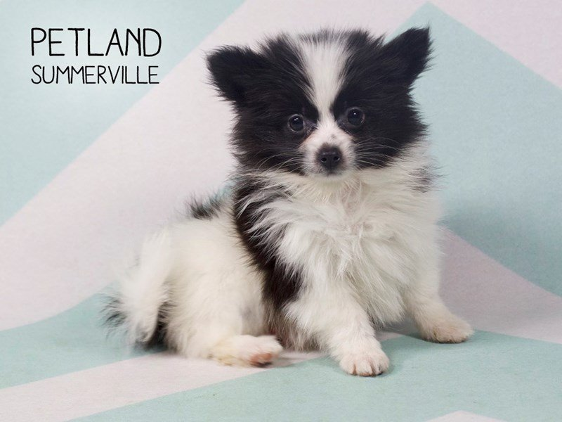 Pomeranians for Sale, This Petite Breed Packs in the Love!