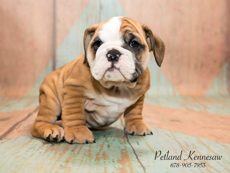 Petland Kennesaw Has All The Breeds Of Bulldog Puppies For Sale