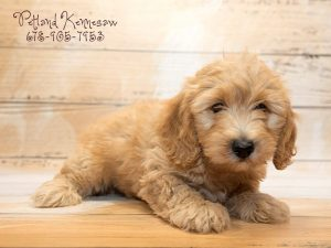 mini goldendoodle for sale