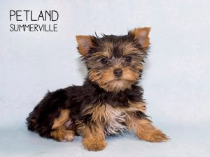 There is Nothing Better Than Finding the Perfect Yorkie