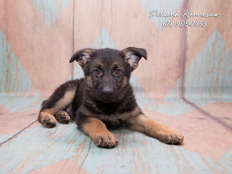 German Shepherd Puppies for Sale: Unparalleled for Protection and