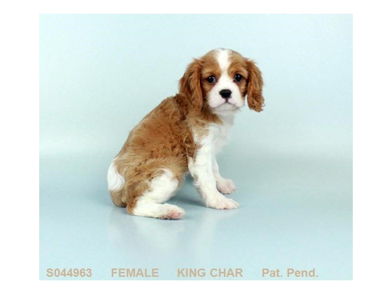 Adopted Female Cavalier King Charles 79090