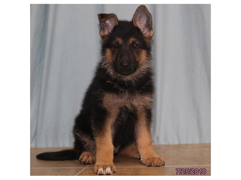 German Shepherd Dog-Male-Black / Tan-2141469-Petland Summerville