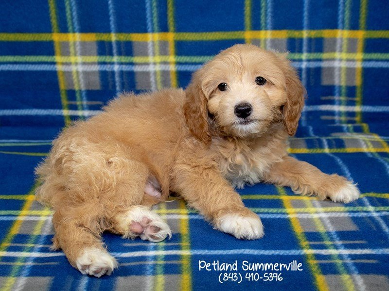 Miniature Goldendoodle-DOG-Male-apct-2144028-Petland Summerville