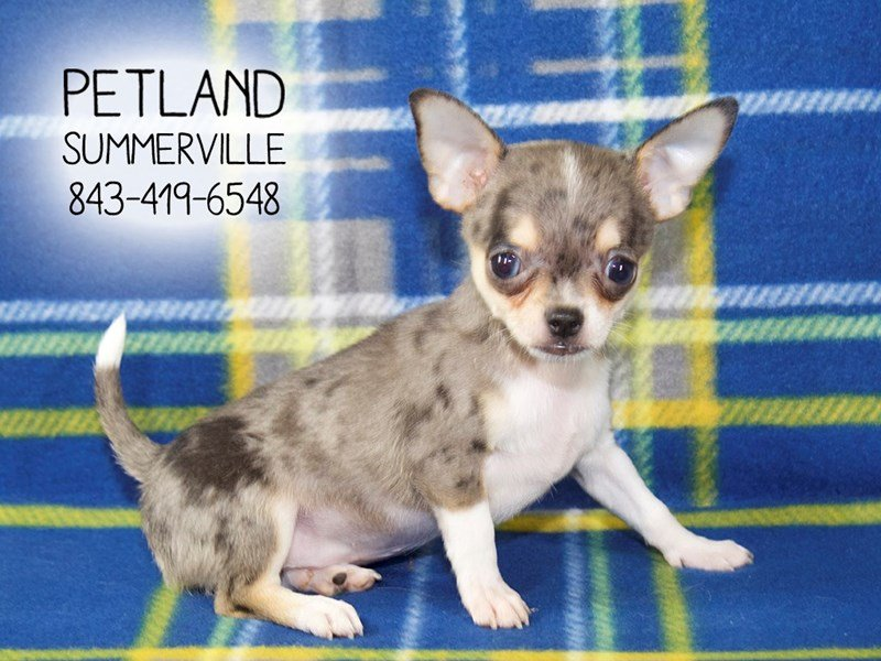 chihuahua dog male blue merle 2155240 petland summerville. Black Bedroom Furniture Sets. Home Design Ideas