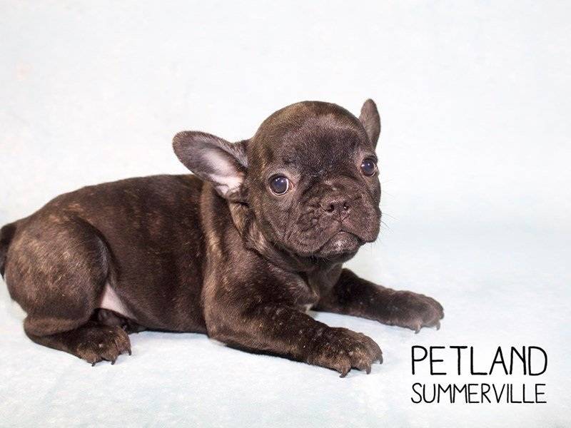 Adopted Female French Bulldog 79251