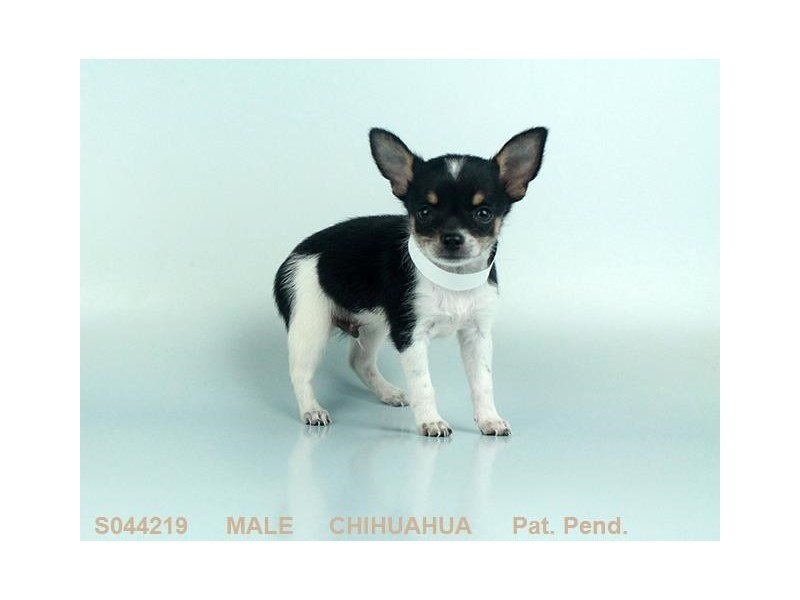 Chihuahua-DOG-Male-BLK & TN:WH MKGS-2140659-Petland Summerville