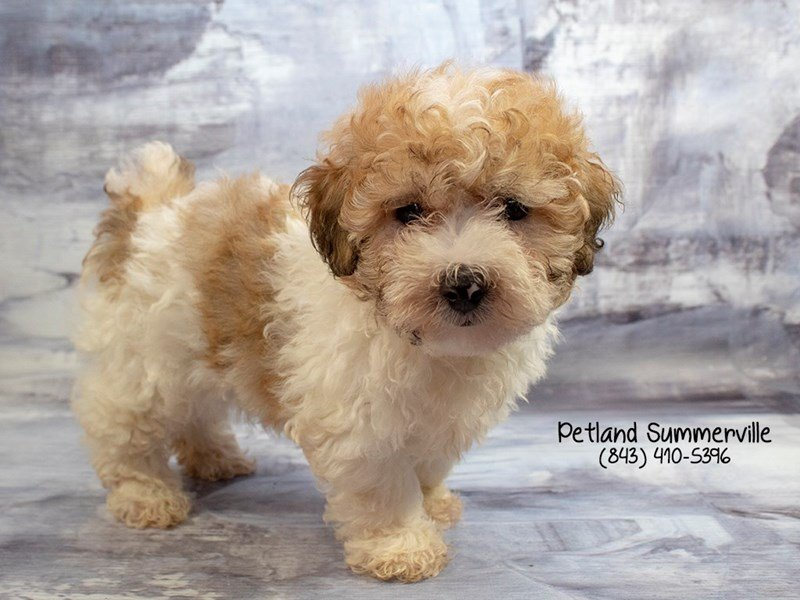 Adopted Male Poodle 79500