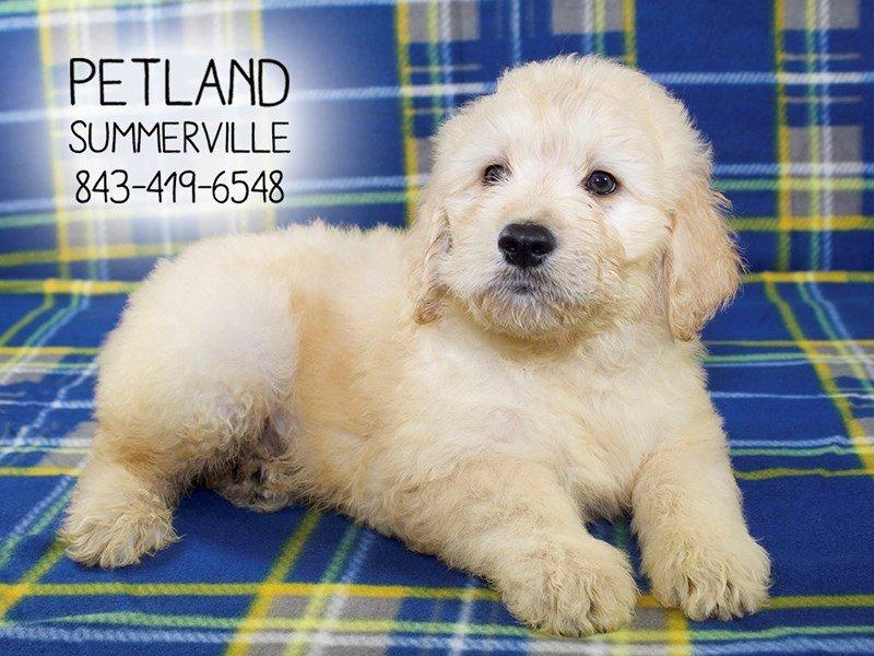 F2 STANDARD GOLDENDOODLE-Male-Golden-2155304-Petland Summerville