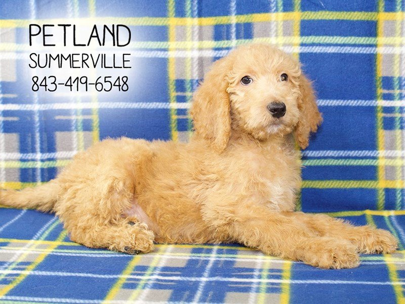 F2 MINI GOLDENDOODLE