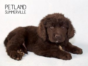 Petland Has Sweet Puppies For Sale Petland Summerville