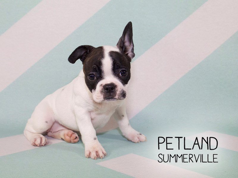 Frenchton-DOG-Female-BLACK WHITE-2170862-Petland Summerville