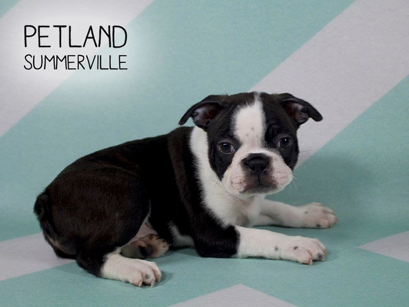 Frenchton-Male-BLACK WHITE-2170861-Petland Summerville