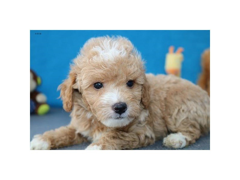 Miniature Goldendoodle-DOG-Male-apct wh mkgs-2183078-Petland Summerville