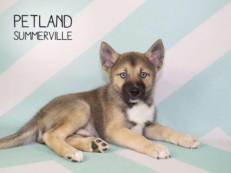 Adopted Male Pomsky 79565