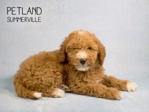 Sweet Mini Goldendoodle Puppy Petland Kennesaw