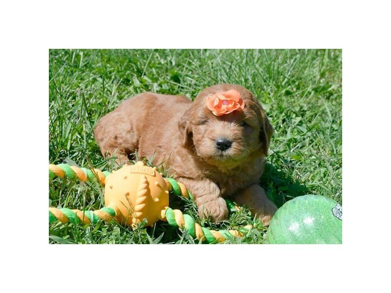 Miniature Goldendoodle-Male-Red-2191436-Petland Summerville