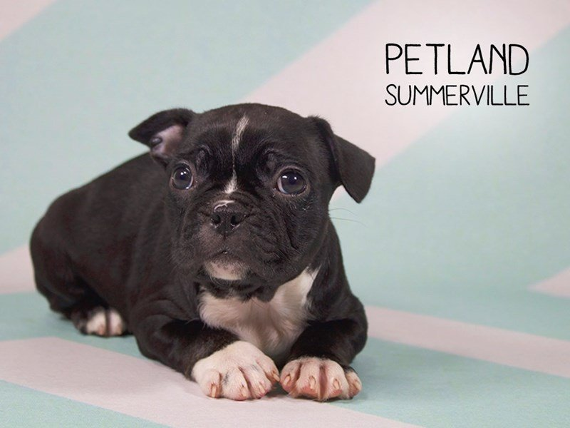 Frenchton-Female-BLACK-2194323-Petland Summerville