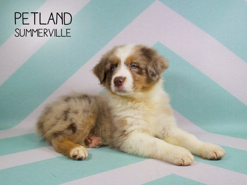 Australian Shepherd-Male-Red Merle-2204696-Petland Summerville