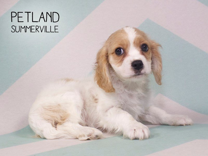 Cockalier-Male-White / Buff-2207671-Petland Summerville