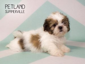 Information About Shih Tzu puppies for You! - Petland
