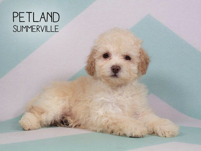 Poodle-Male-Cream-2223249-Petland Summerville