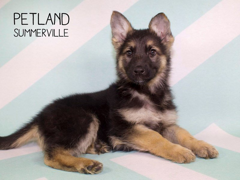 German Shepherd Dog-Female-Black / Tan-2228449-Petland Summerville
