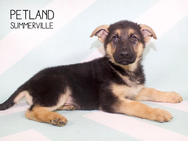 German Shepherd Dog-Male-Black / Tan-2228665-Petland Summerville