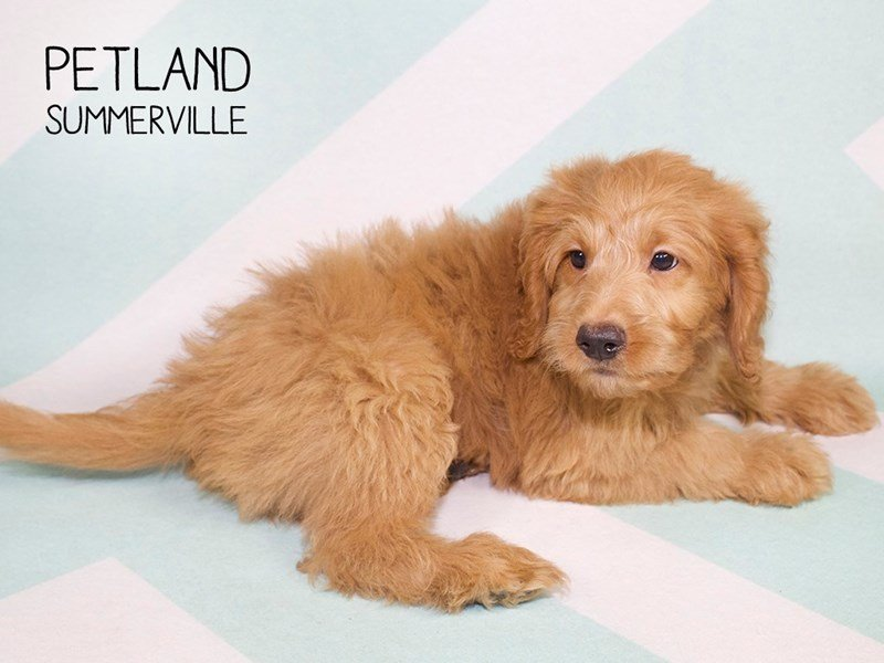 Adopted Male Goldendoodle Mini 79845
