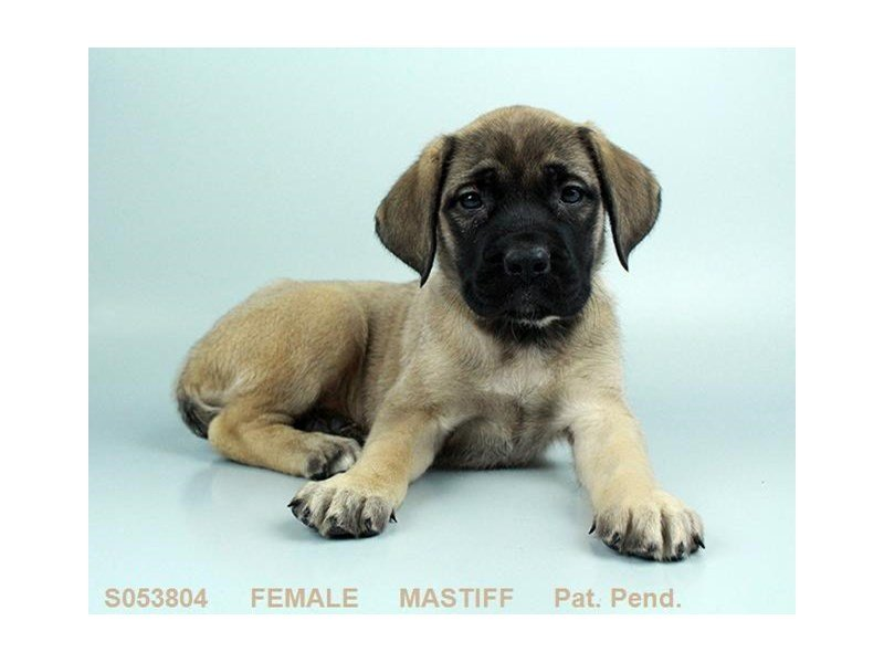 English Mastiff-Female-FN-2238245-Petland Summerville