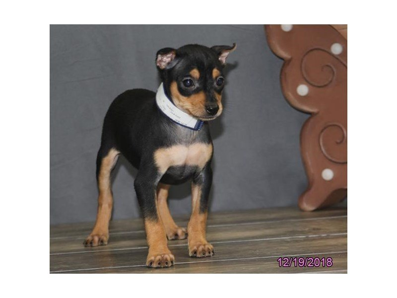 Miniature Pinscher-Male-Black / Tan-2245971-Petland Summerville