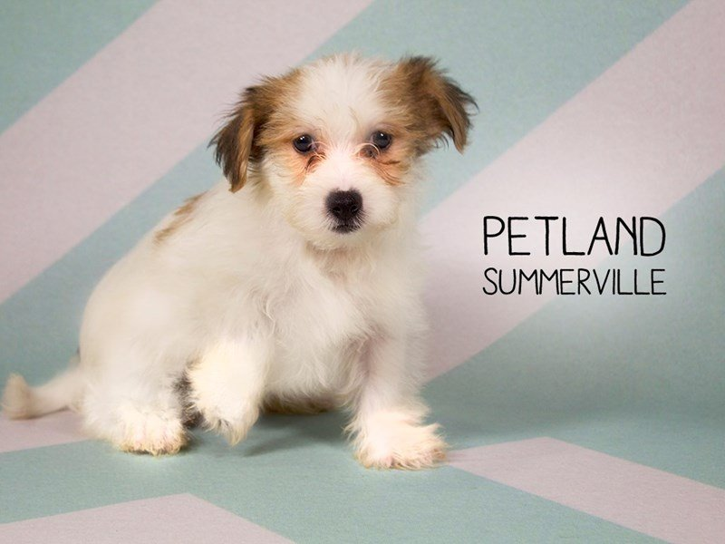 Shorkie-Male-brown white-2194451-Petland Summerville