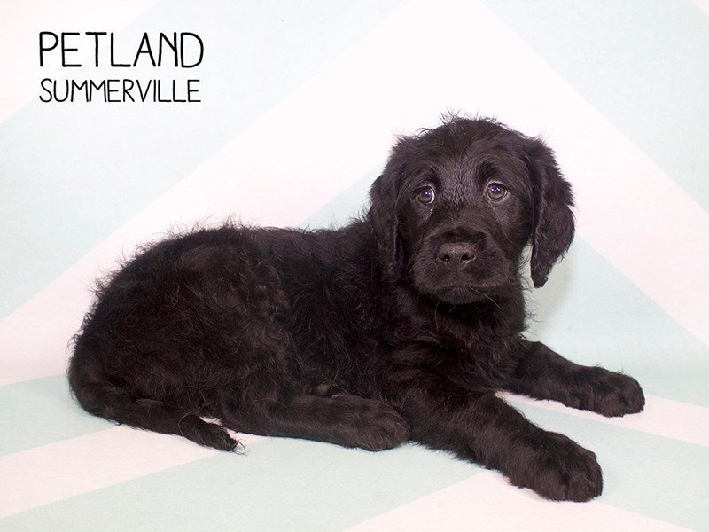 Labradoodle-Male-Black-2222360-Petland Summerville