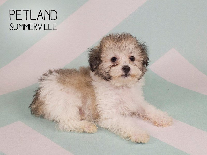 Poodle-Male-brown white-2232657-Petland Summerville