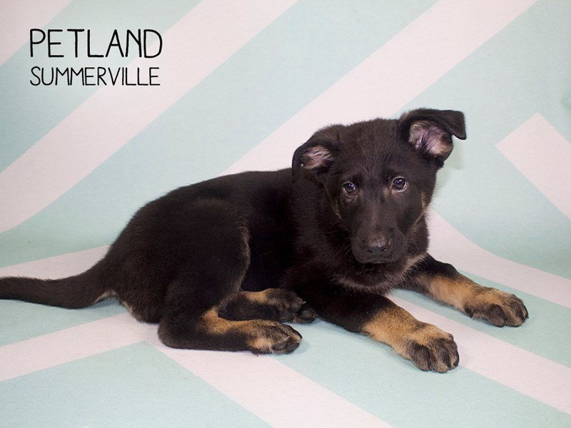 German Shepherd Dog-Male-Black / Tan-2233755-Petland Summerville
