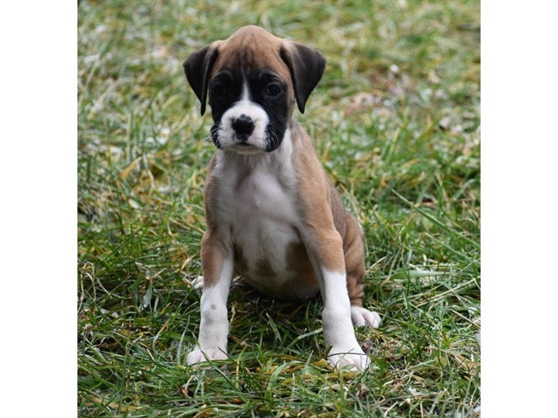 Boxer-Female-Fawn / White-2240333-Petland Summerville