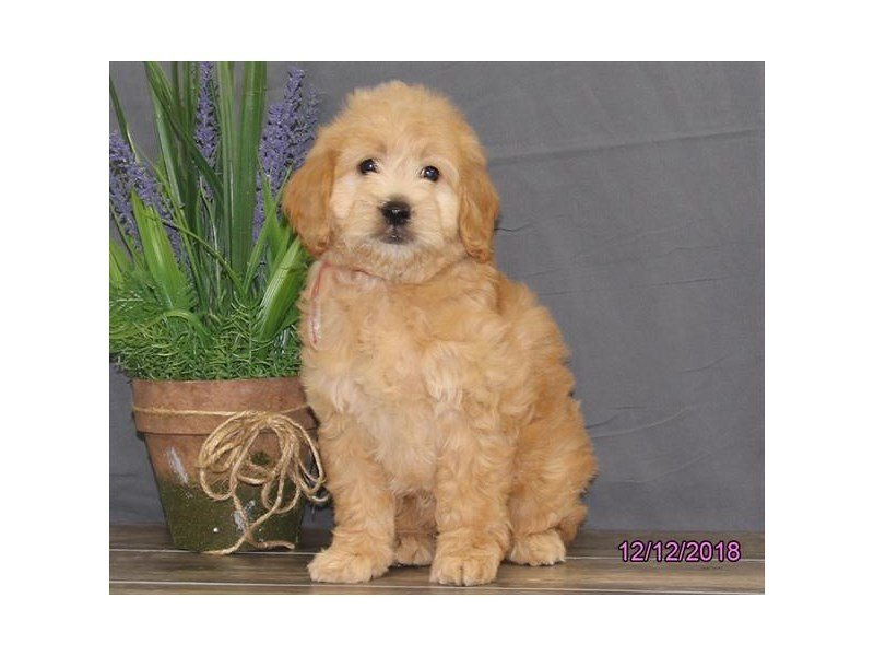 Miniature Goldendoodle-Female-Golden-2240357-Petland Summerville