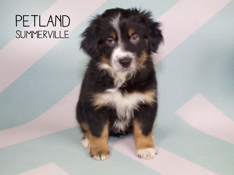 Australian Shepherd-Male-Black-2242197-Petland Summerville