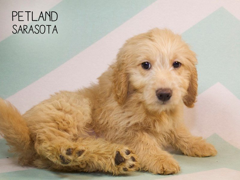 Miniature Goldendoodle-Male-GLDN-2258941-Petland Summerville