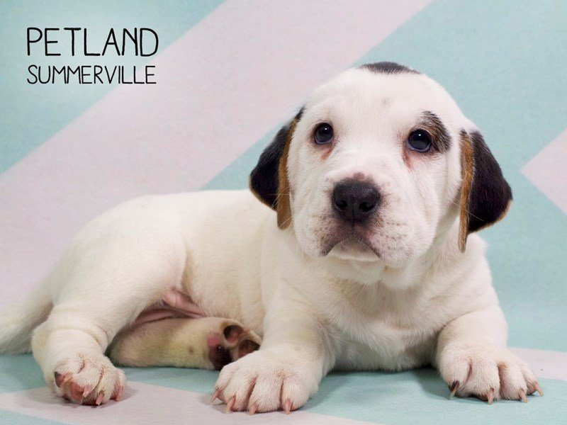 Walrus-DOG-Male-BLACK WHITE-2264462-Petland Summerville