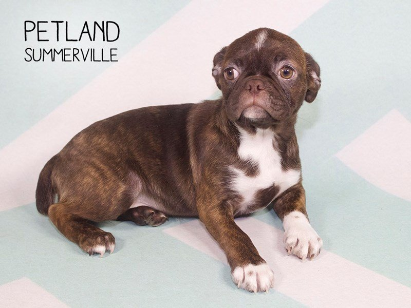 Frenchton-Female-brdl-2234671-Petland Summerville