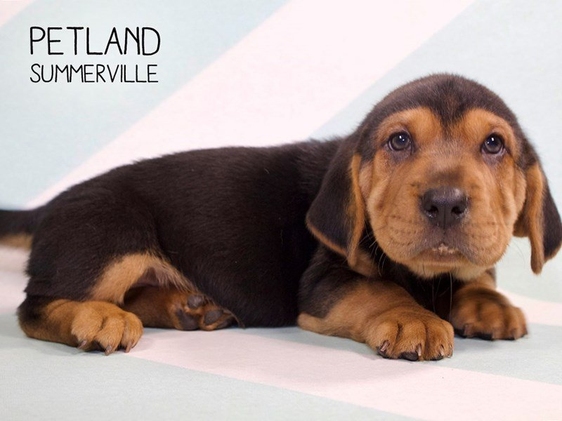 Walrus-Female-BLK TAN-2264514-Petland Summerville
