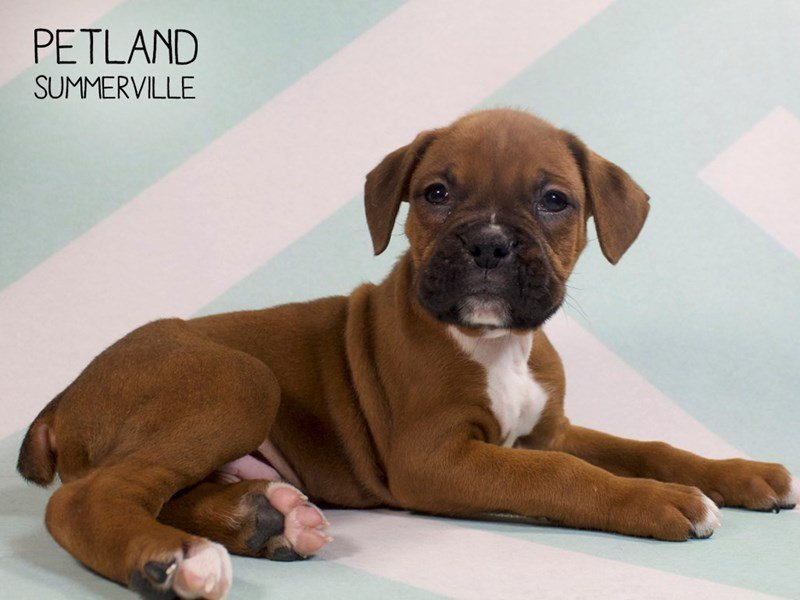 Adopted Male Boxer 80353