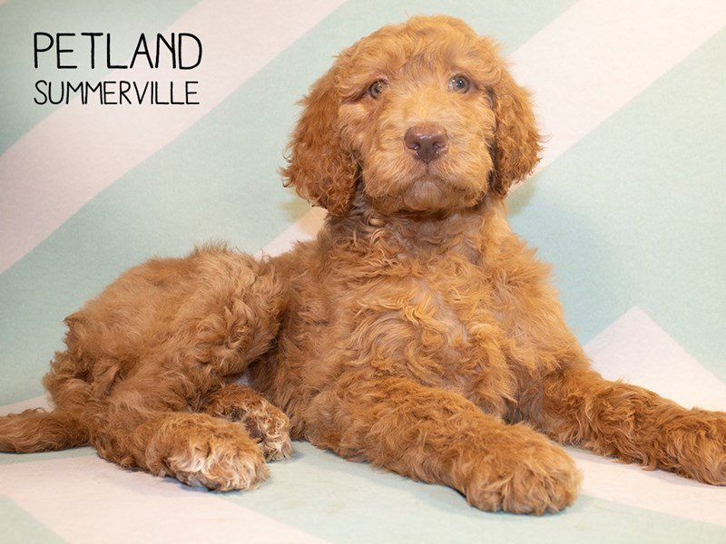 F2 STANDARD GOLDENDOODLE-Female-Dark Red-2275110-Petland Summerville